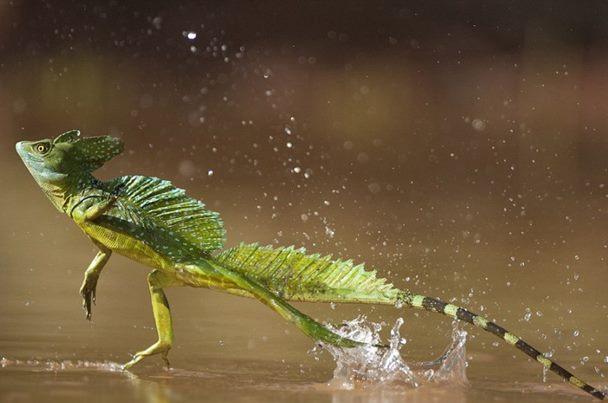 basilic-vert-Basiliscus-plumifrons-alimentation-maintien-reproduction-caractère-comportement-NAC-reptiles-animaux-animogen-3