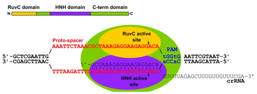 Sur ce schéma en vert on retrouve Cas9, En jaune et violet différents domaines qui permettent à la protéines de fonctionner. La séquence rouge est l'ADN génomique et la séquence noire correspond à la séquence homologue.
