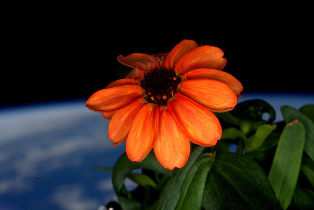 Un zinnia, la première fleur à éclore dans l'espace. 17 janvier 2016.
