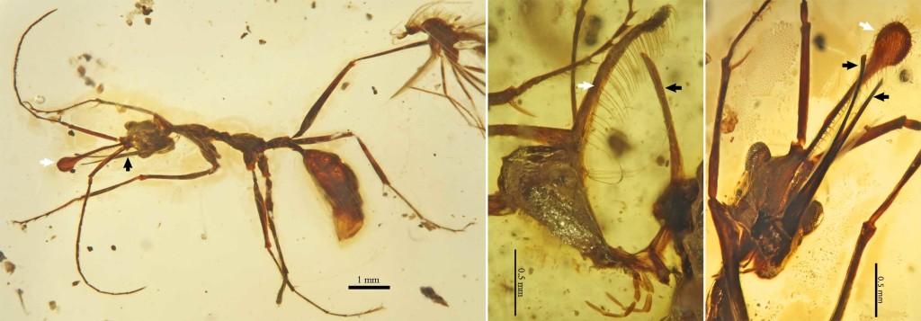 Figure composée de trois photos des fossiles mettant en évidence la corne spatulée (flèches blanche) et les mandibules (flèches noires) - V. Perrichot et al.