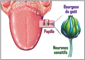 schema-bourgeon-gout