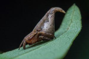 Eriovixia gryffindori, l'araignée choixpeau magique